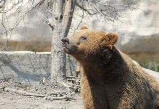 grizzly-443196__340